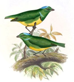 South American Classification Committee American Ornithologists' Union